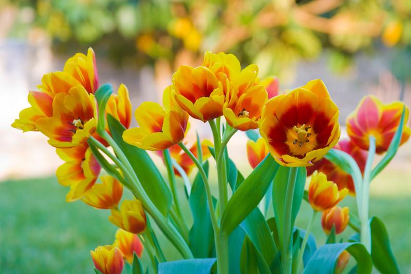 Tulips outdoor_19.jpg