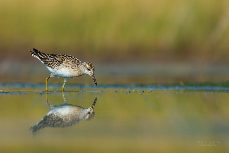 Sharp-tailed Sandpiper, Lake Wollumboola, NSW, Nov 2014-5.jpg