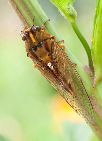 Cicada perches on a plant stalk
