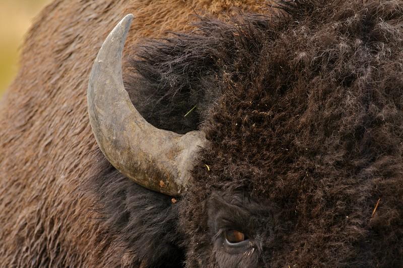 Bison face close Yellowstone _MG_3470.jpg