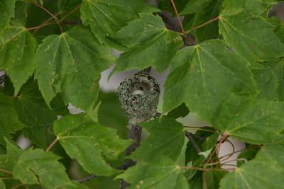 Fayette Hummingbird