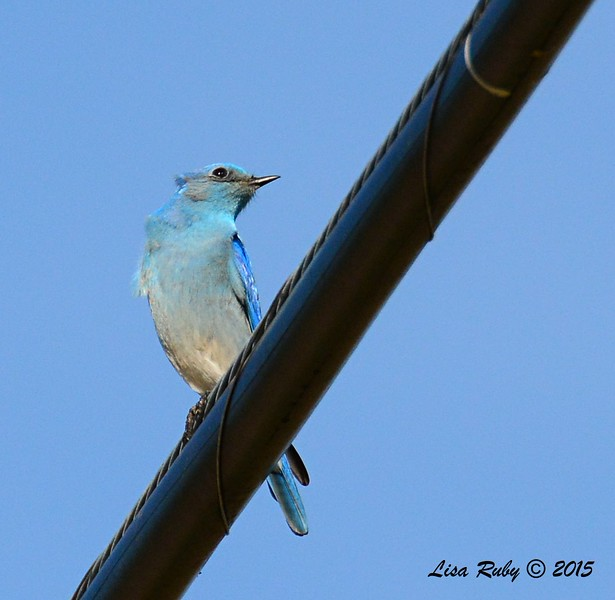 Male Mountain Bluebird - 1/19/2015 - Rangeland Road, Ramona
