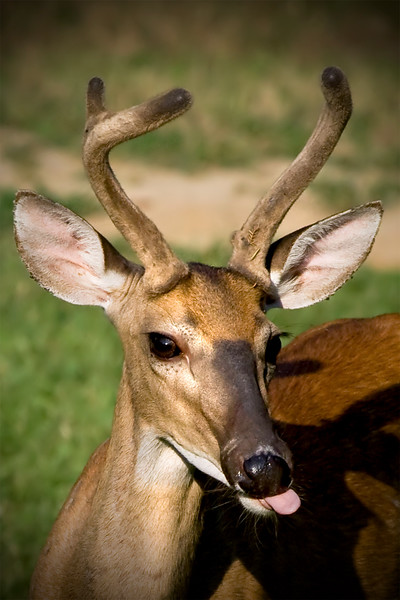Close up head shot photograph of a young white tailed buck deer sticking it's tongue out. Photography fine art photo prints print photos photograph photographs image images artwork.