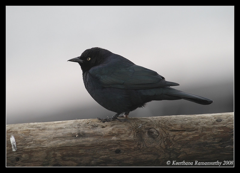 Brewer's Blackbird Male, Lake Murray, San Diego County, California, December 2008