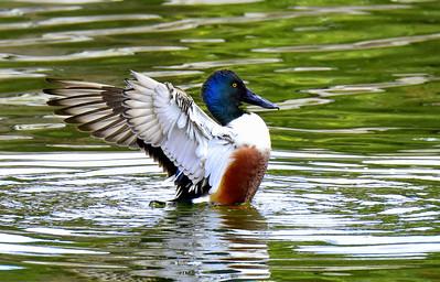 Water Fowl