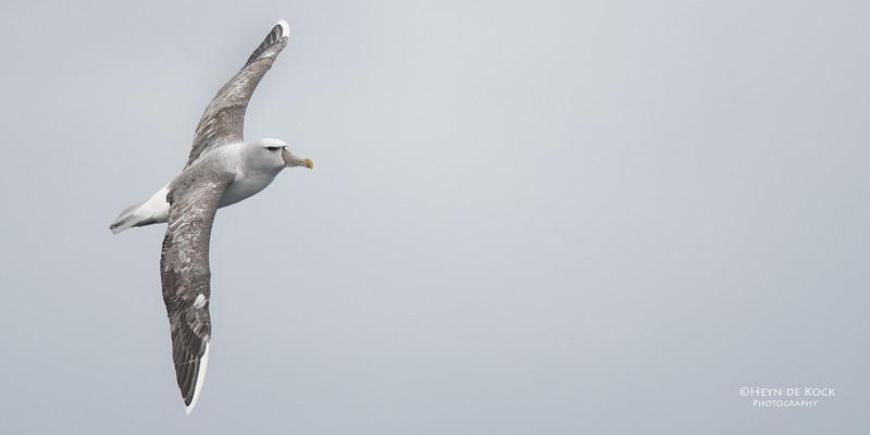 Shy Albatross, Eaglehawk Neck Pelagic, TAS, Sept 2016-1.jpg