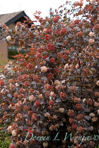 Physocarpus opulifolius 'Monlo'_6895.jpg