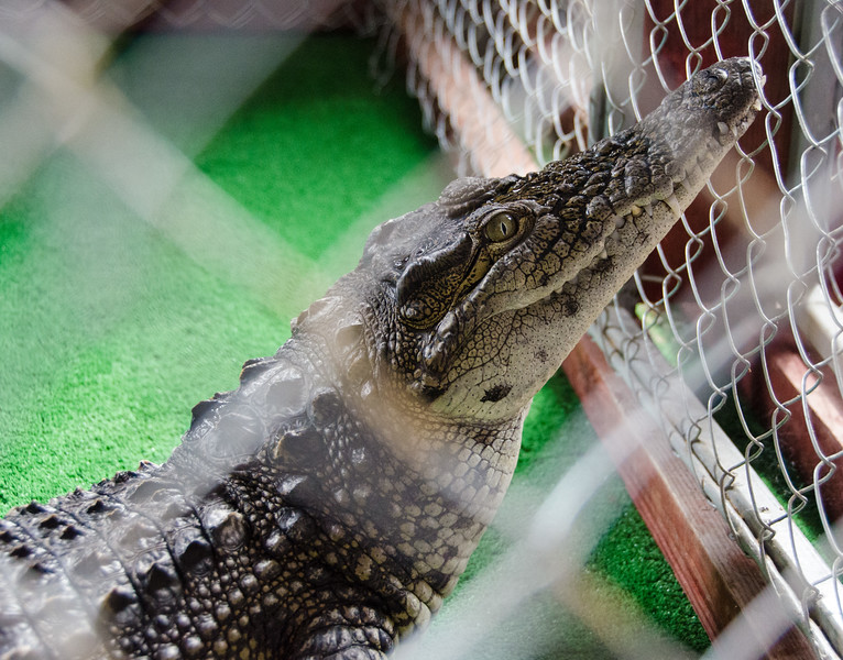 Caged crocodile