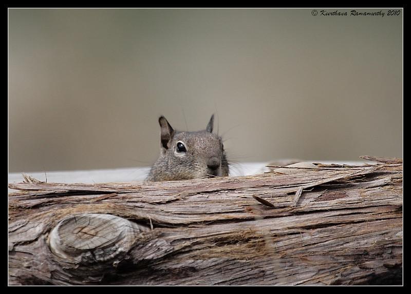 Squirrel, Cuyamaca Rancho State Park, San Diego County, California, March 2010