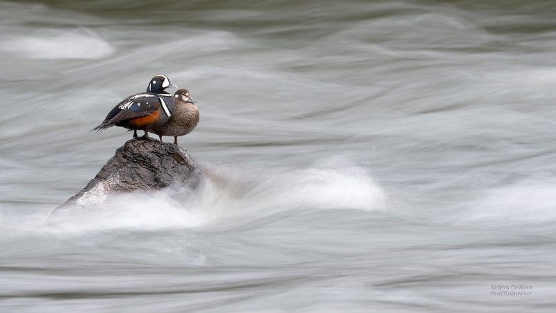 Harlequin Duck, Yellowstone NP, WY, USA May 2018-1.jpg