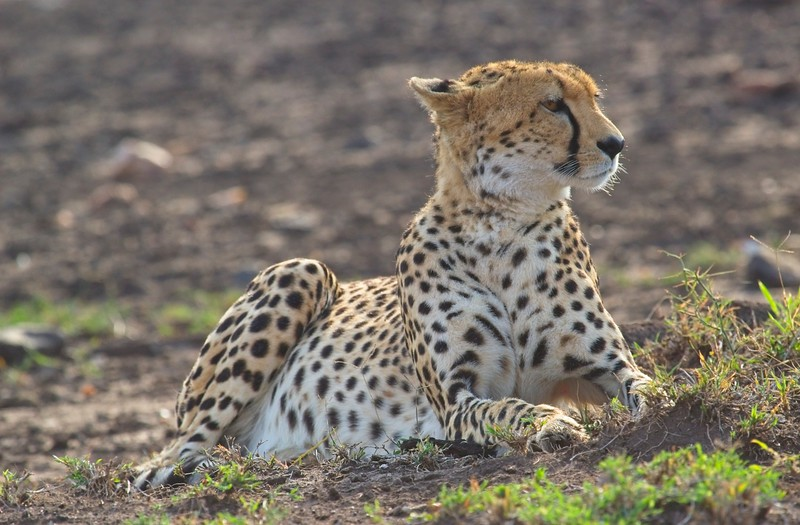 Cheetah, Naboisho Conservancy