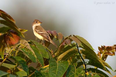 Willow Flycatchers