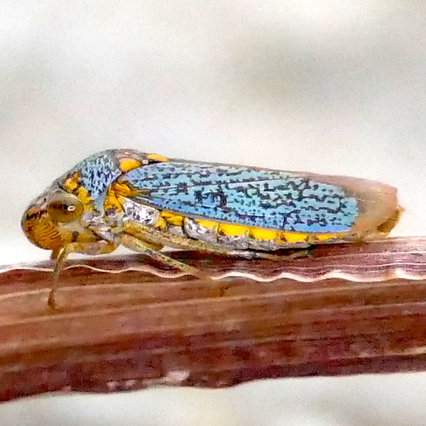 P171OncometopiaOrbona,261 Dec. 14, 2017 7:34 a.m. P1710261 This blue leafhopper, Oncometopia orbonia, the Broad-headed Sharpshooter is resting on a stem by the woodland stream pond at LBJ WC. Cicadellid.