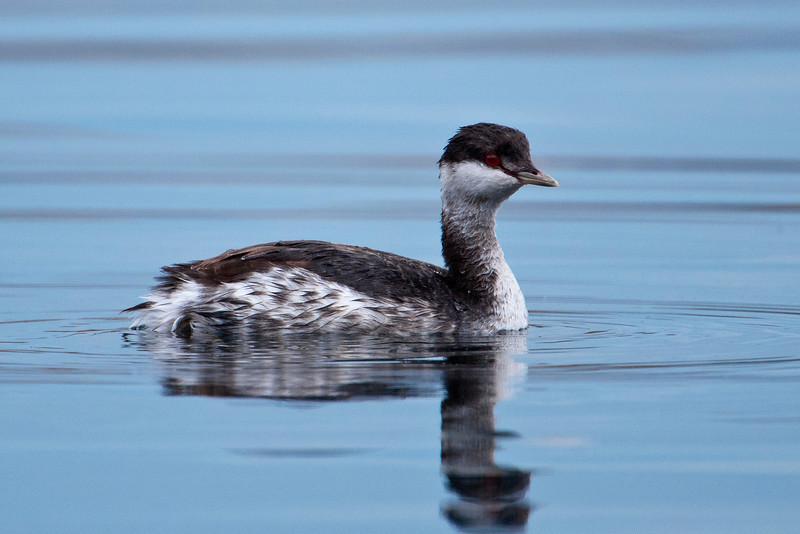 Grebe - Horned - non-breeding plumage - Grand Marais, MN - 01