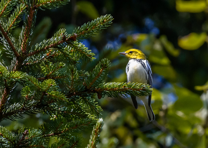 Warbler on the Blue Ridge Parkway