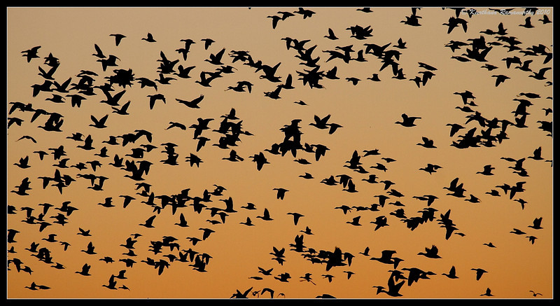 Snow Geese at sunrise, Bosque Del Apache, Socorro, New Mexico, November 2010
