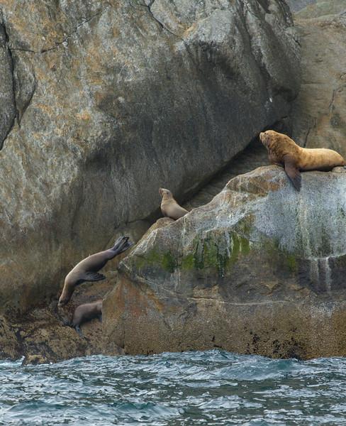 Stellar Sea Lions are endangered