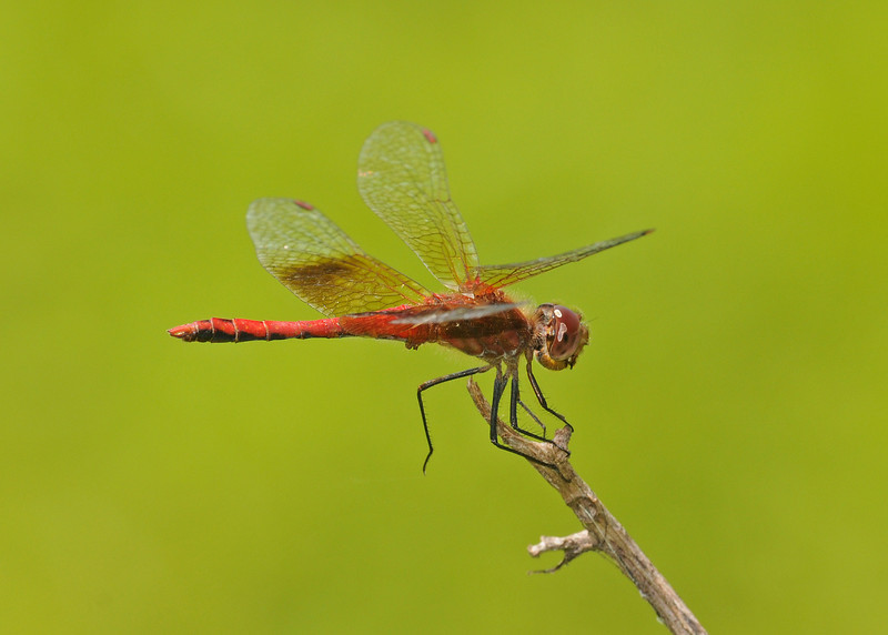 Sympetrum semicinctum (Band-winged Meadowhawk), GA