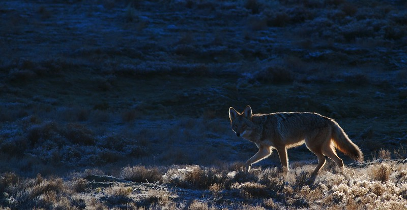 Coyote Teddy Roosevelt National Park ND IMG_7526.jpg
