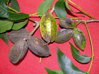 scab-fungus-to-do-major-damage-to-a-pecan-crop