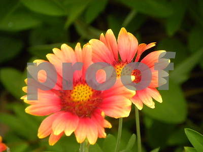 gaillardias-are-natural-native-plants-that-can-survive-summer-heat