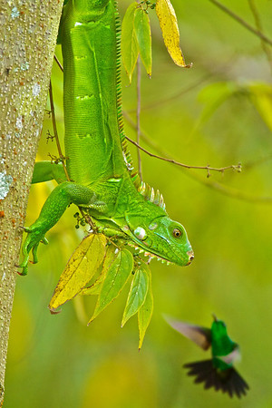 Central American Amphibians & Reptiles