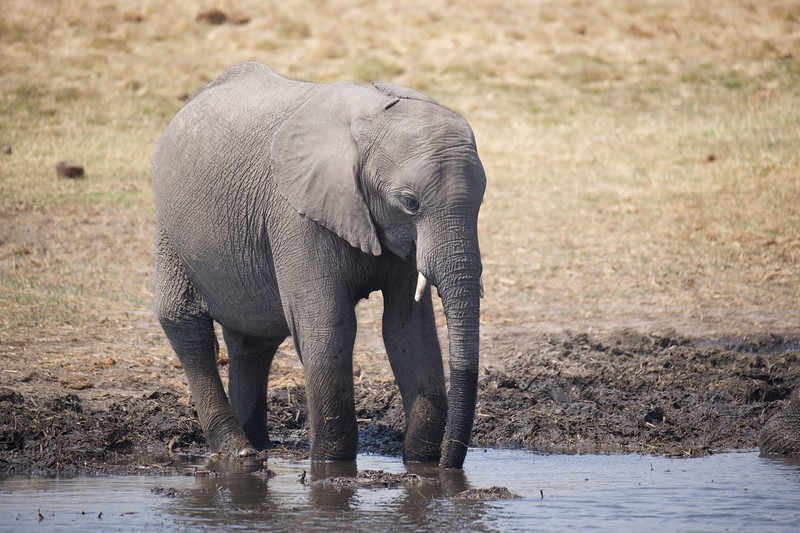 Elephants drinking, Selinda Explorer camp, Botswana