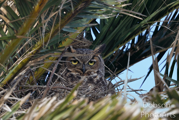 great Horned Owls 2016