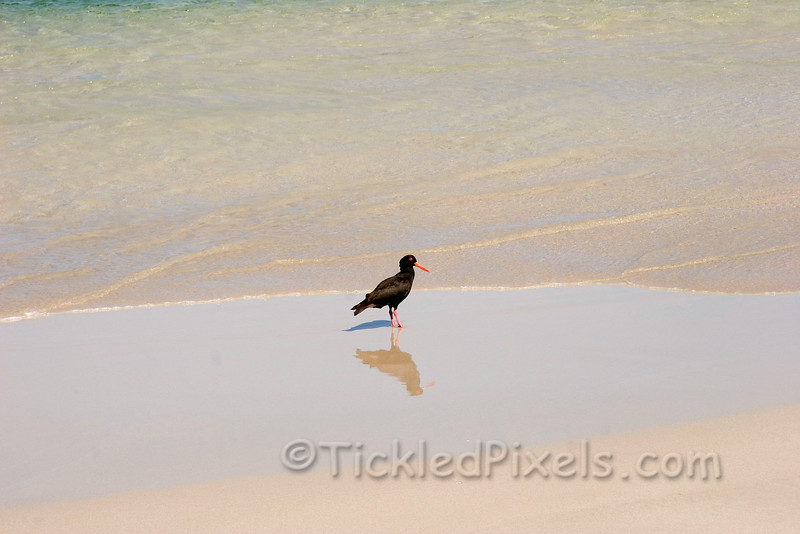 Sooty Oyster Catcher (Western Australia)
