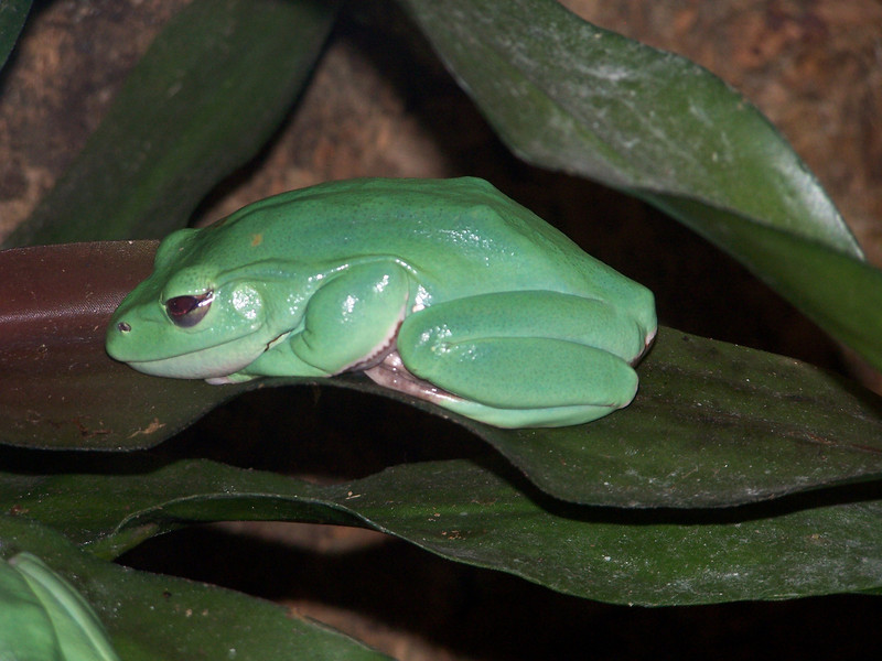 Giant Green Tree Frog