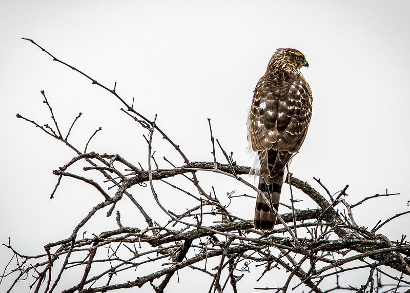 Hawk_01.jpg
