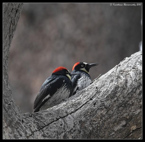 Acorn Woodpecker, Cuyamaca Rancho State Park, San Diego County, California, March 2010