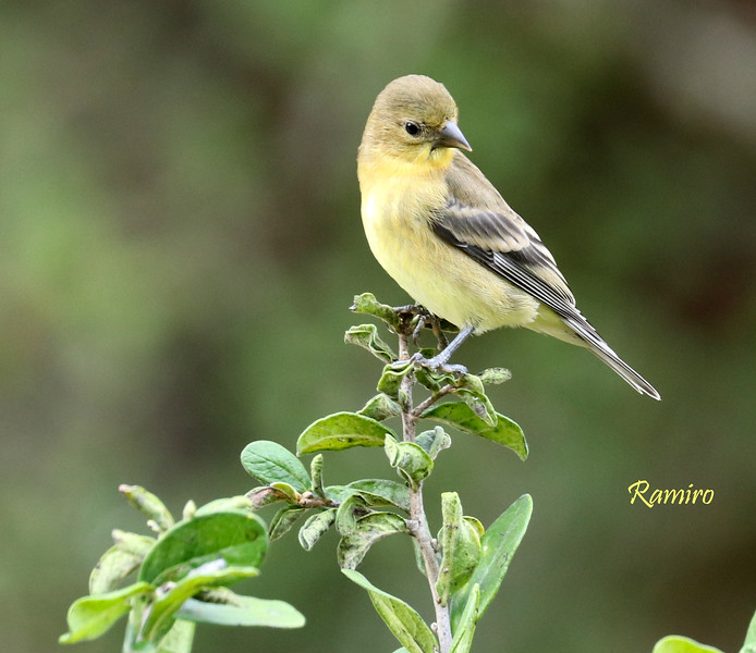 American Goldfinch IMG_3904.jpg