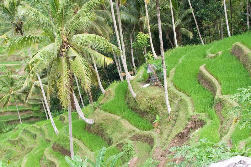 Rice Paddy Terraces.jpg