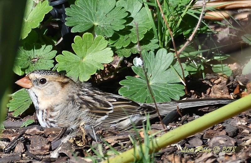 Harris's Sparrow - 12/19/2018 - Backyard