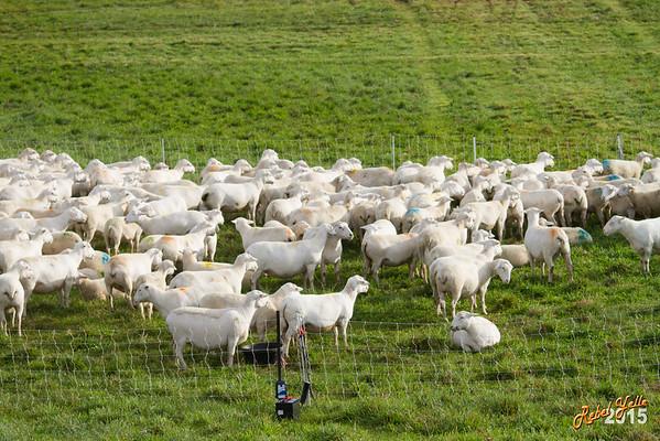 First HGH Herding Club Trial 2015