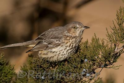 Mockingbirds, Thrashers, and Catbirds