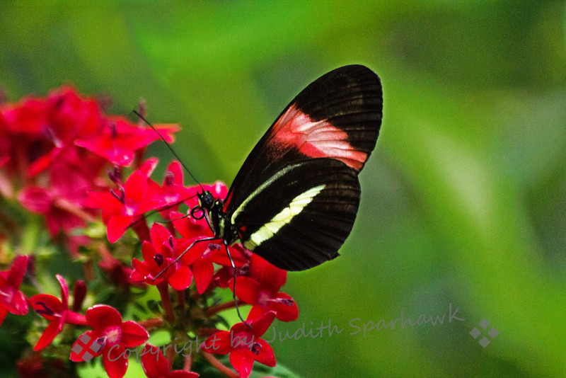 Feasting on Red ~ One of the butterflies at the exhibit at San Diego Safari Park.