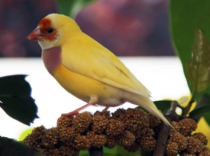 Mystery Finch.  Is this some sort of Canary?