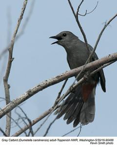 Gray Catbird A90488.jpg