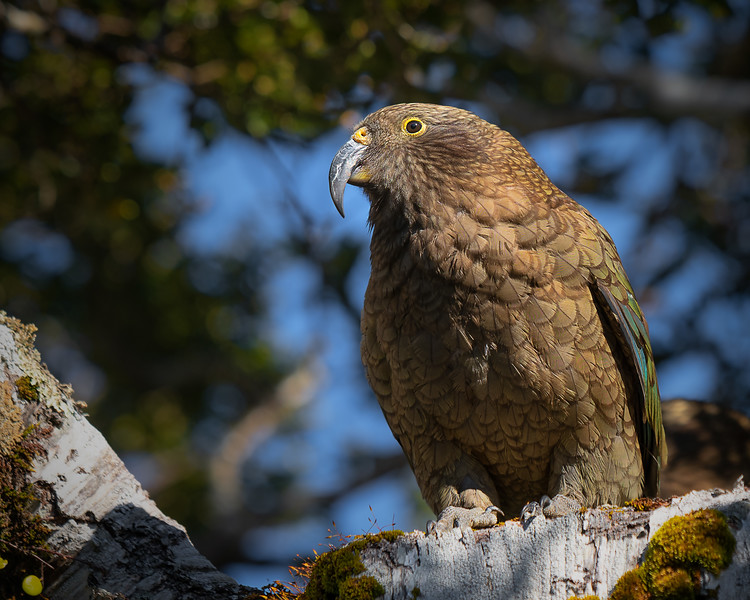 Curious Kea || Milford Sound
