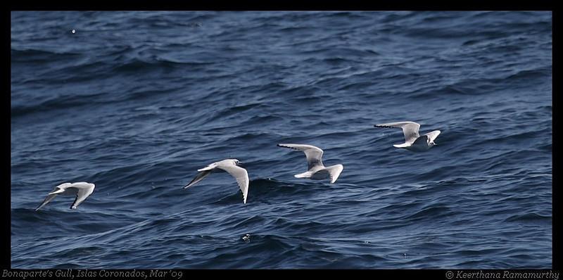 Bonaparte's Gull, Pelagic Trip Pacific Ocean, San Diego County, California, March 2009