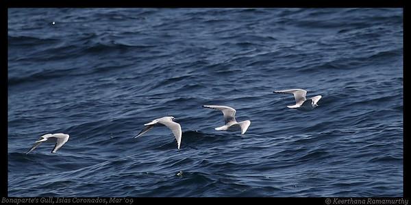 Gulls, Jaegers, Skuas