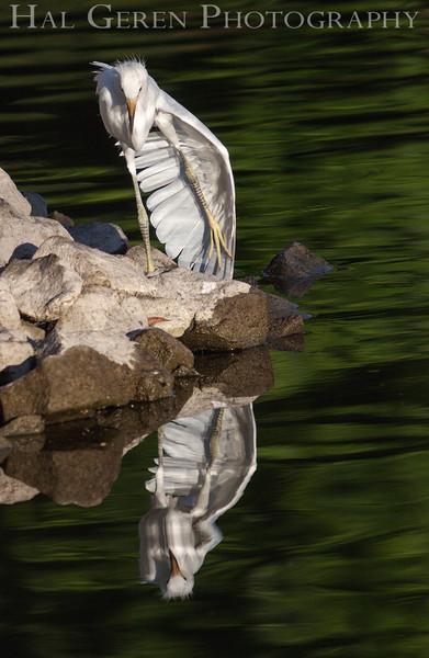 Snowy Egret fledgling awkward moment Newark, California 1304N-SE39AM