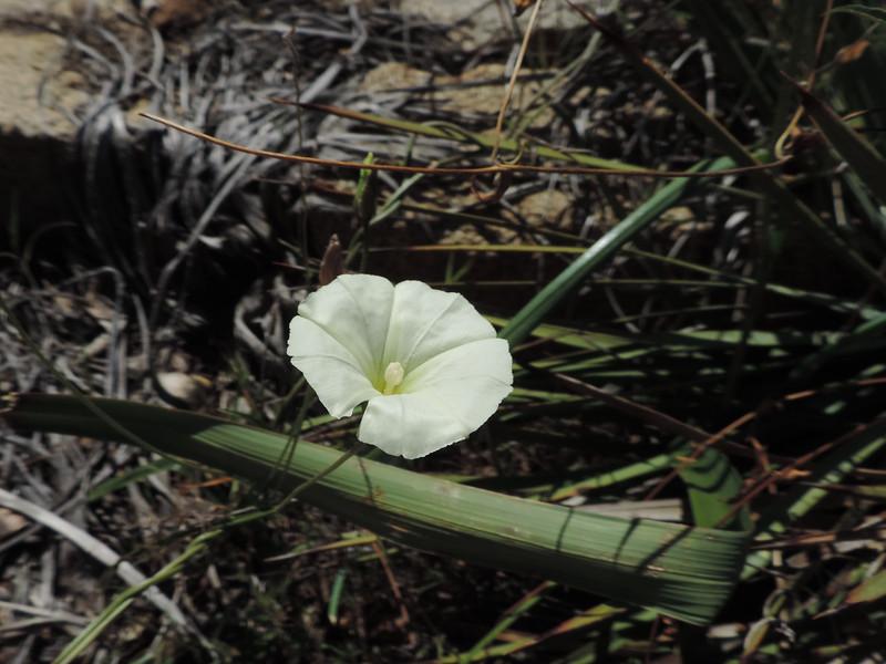 Morning-glory  (Calystegia longipes) CONVOLVULACEAE