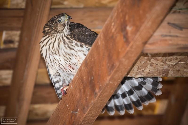 Cooper's Hawk consuming a recent catch