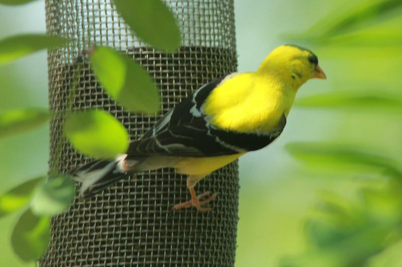 American Goldfinch (Male) @ Grand Glaize Creek