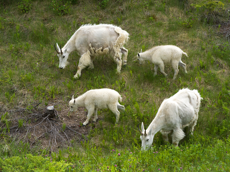 High angle view of Mountain goats�(Oreamnos americanus) in field, Icefields Parkway, Jasper, Alberta, Canada