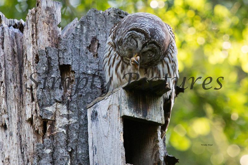 Owl  (30)