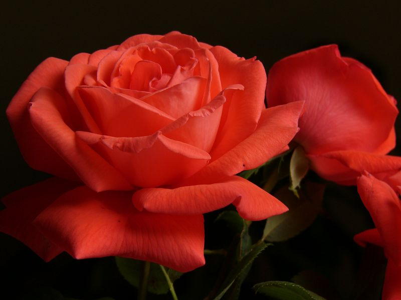 26Feb2005_777_Roses.jpeg